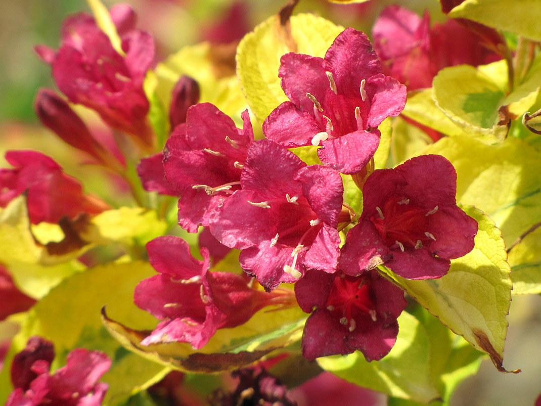 krzewuszka jeans gold kwiaty