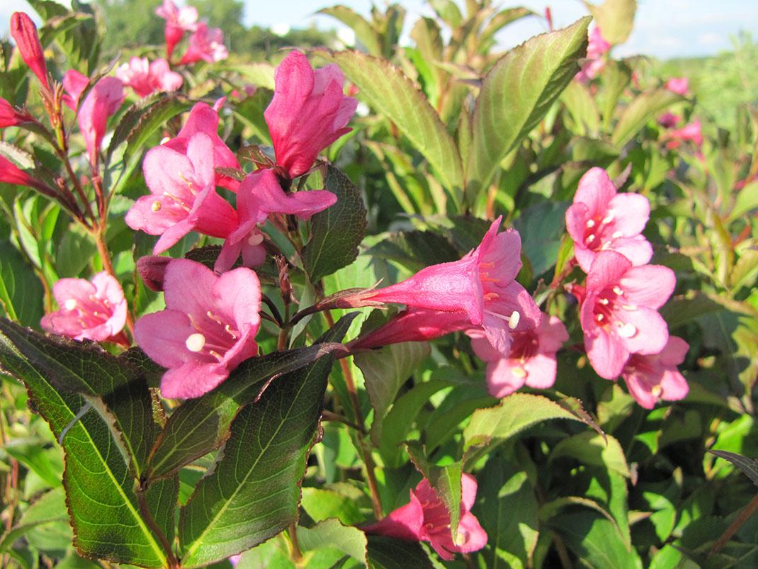 krzewuszka cudowna rubidol kwiaty
