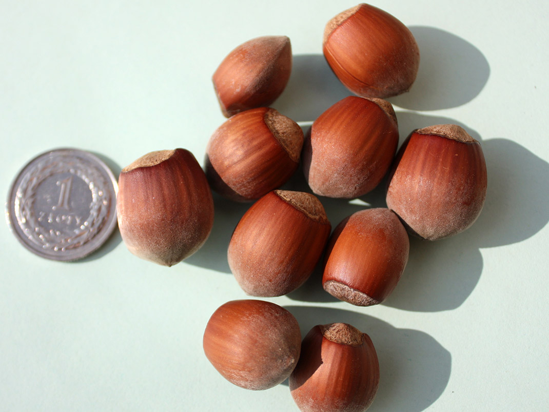 leszczyna wielkoowocowa syrena owoce