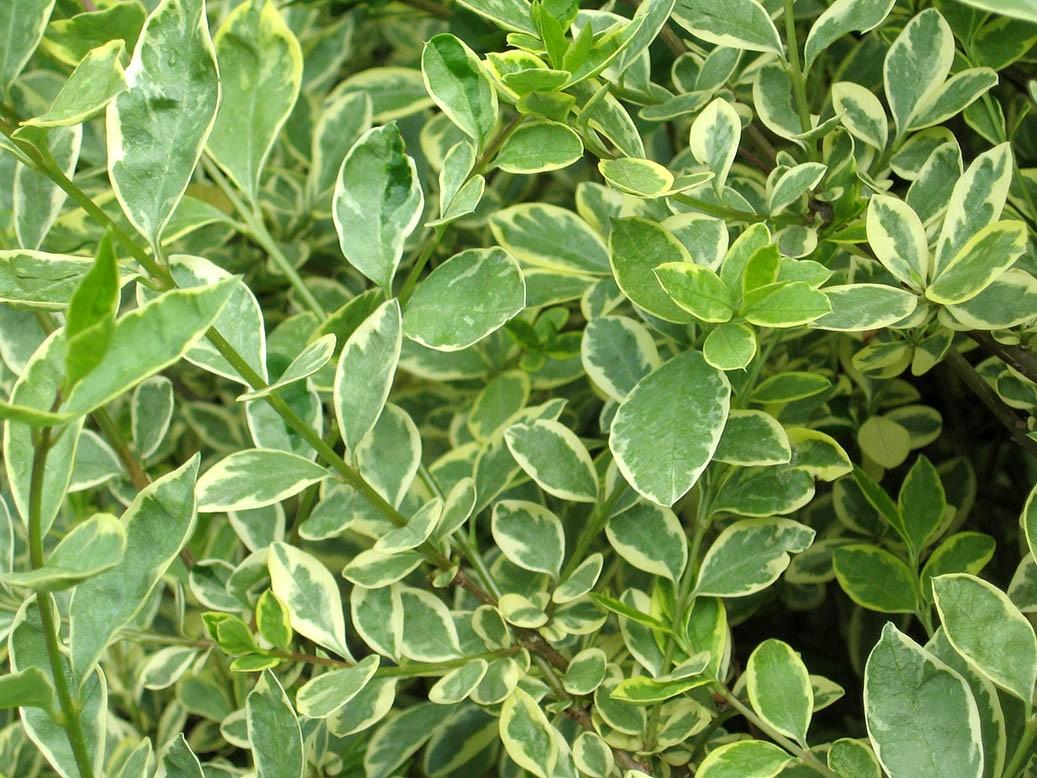ligustr pospolity albovariegata liście