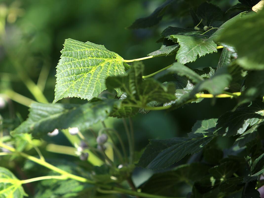 lipa konieczko liście