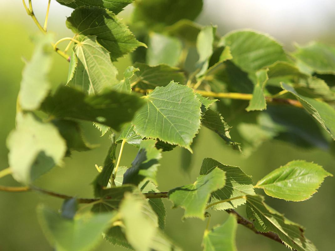 Lipa begonifolia liście