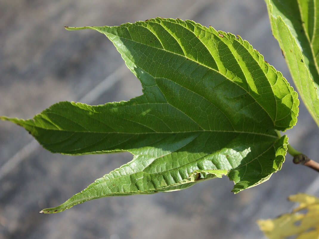 morwa biała macrophylla
