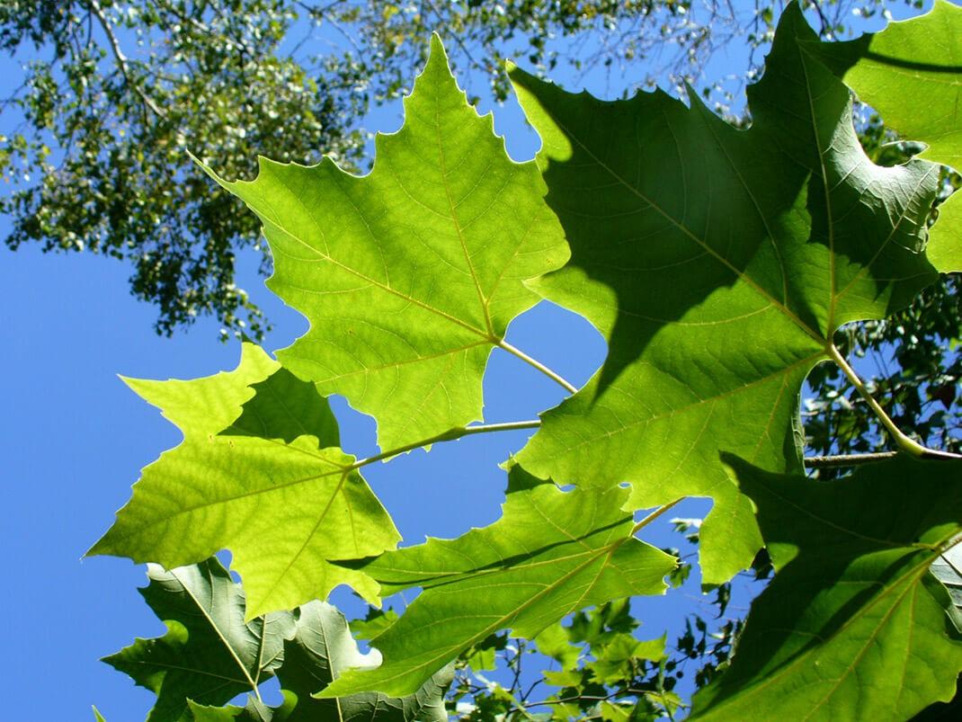 platan zachodni liście