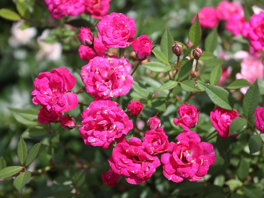 róża miniaturowa perla de alcanada kwiaty