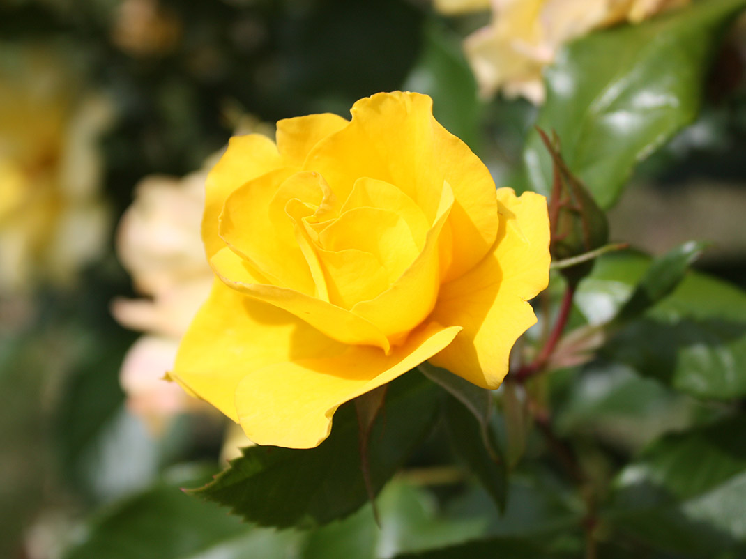 Róża wielokwiatowa Golden Holstein kwiat