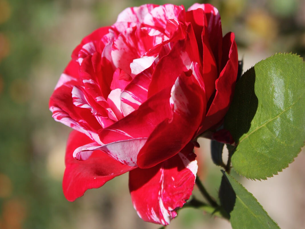 róża scentimental kwiaty