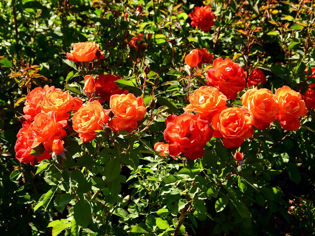 róża super trouper kwiaty