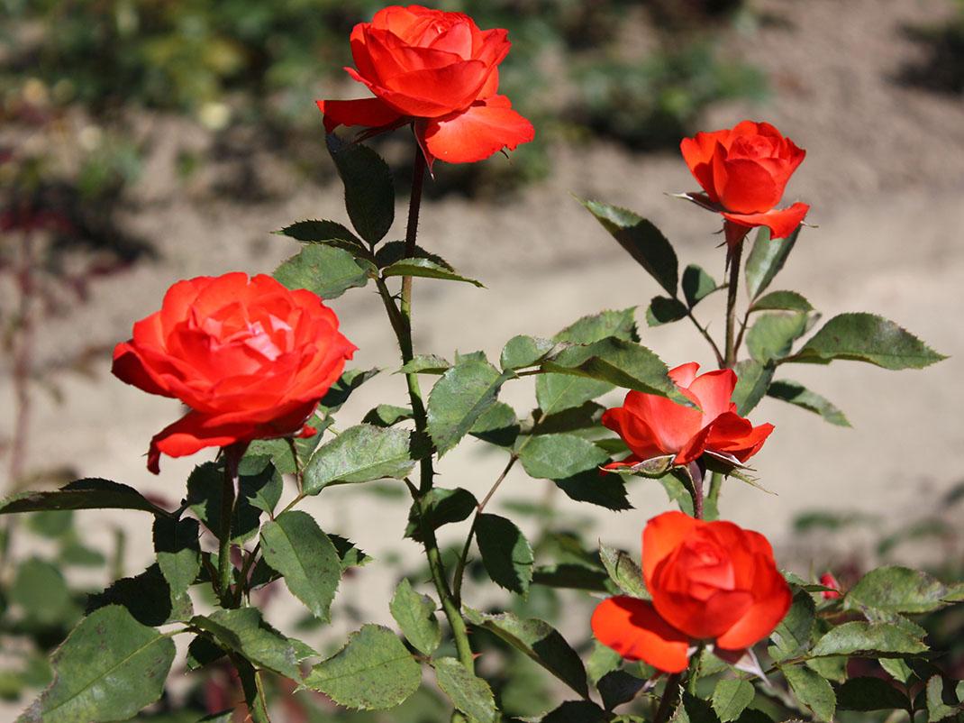 różaAnne Cocker kwiaty