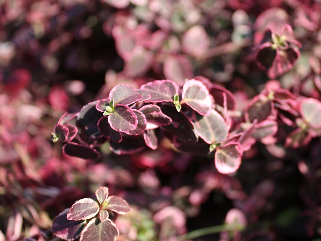 trzmielina fortune'a gracilis liście