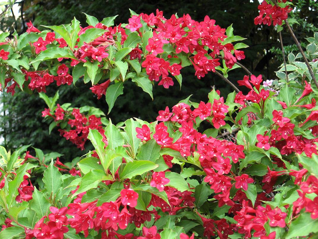 krzewuszka red prince kwiaty
