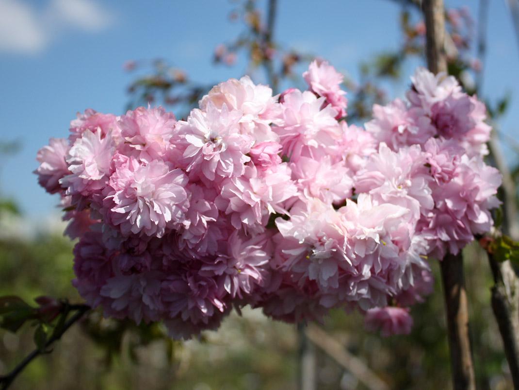 wiśnia japońska kwiaty