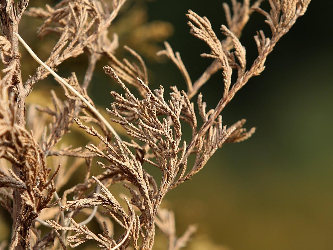 choroby drzew iglastych szkodniki