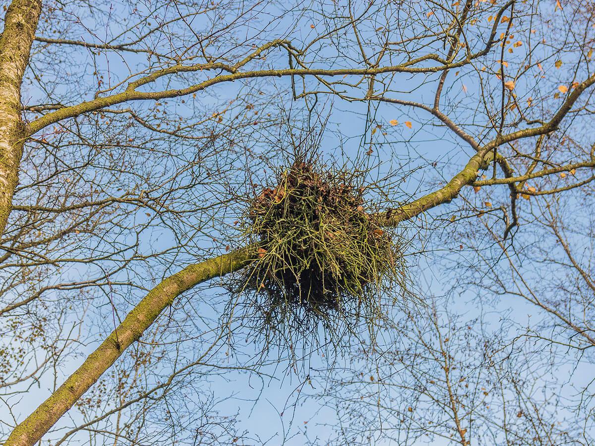 czarcia miotła brzoza