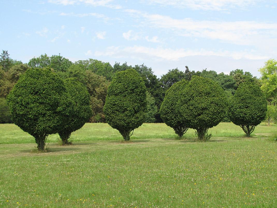 grab pospolity drzewo