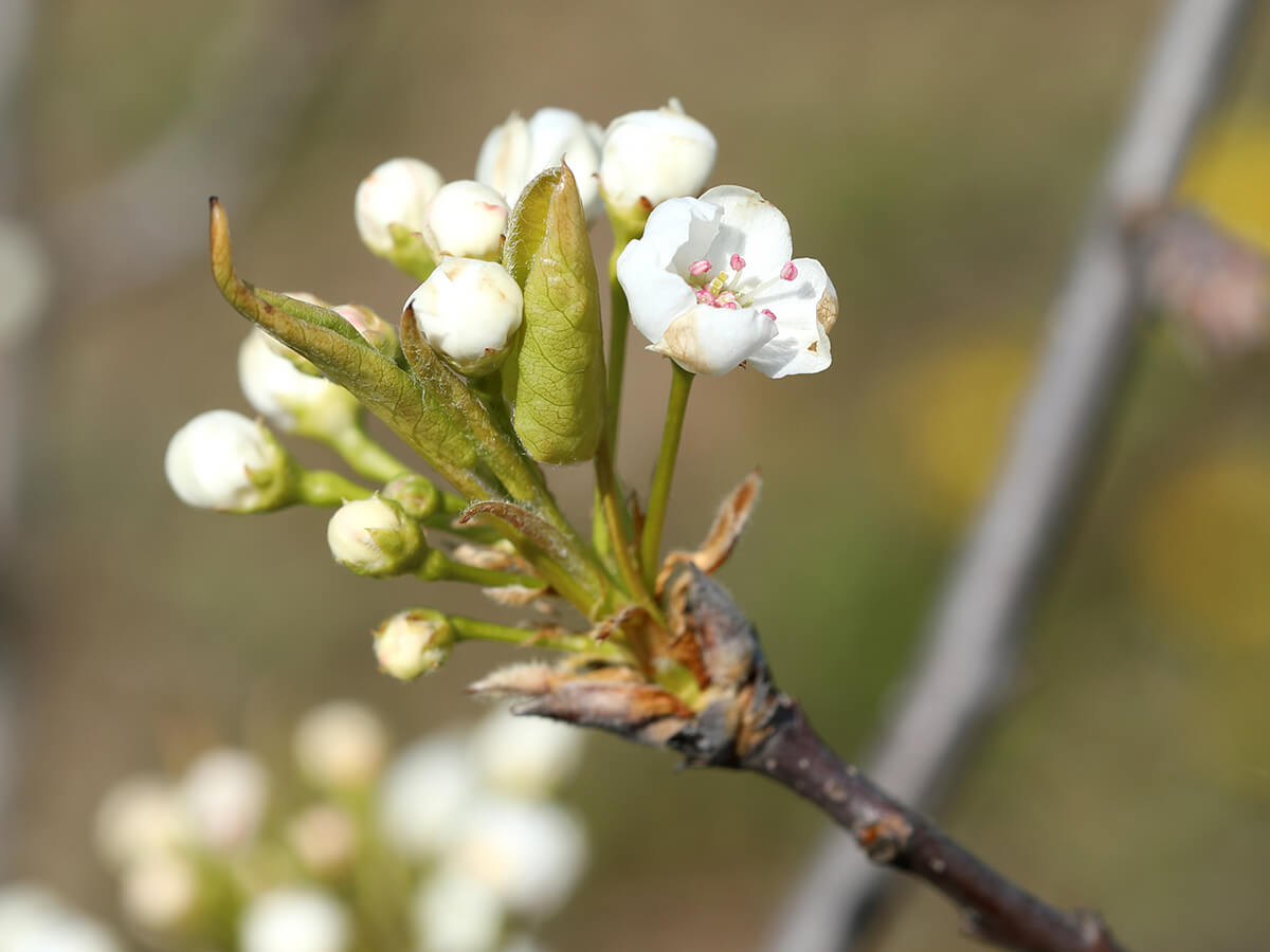 grusza drobnoowocowa graciliflora