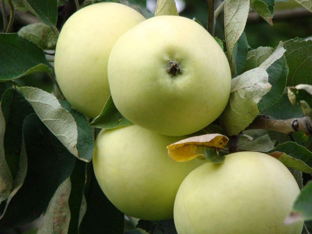 jabłoń oliwka żółta owoce