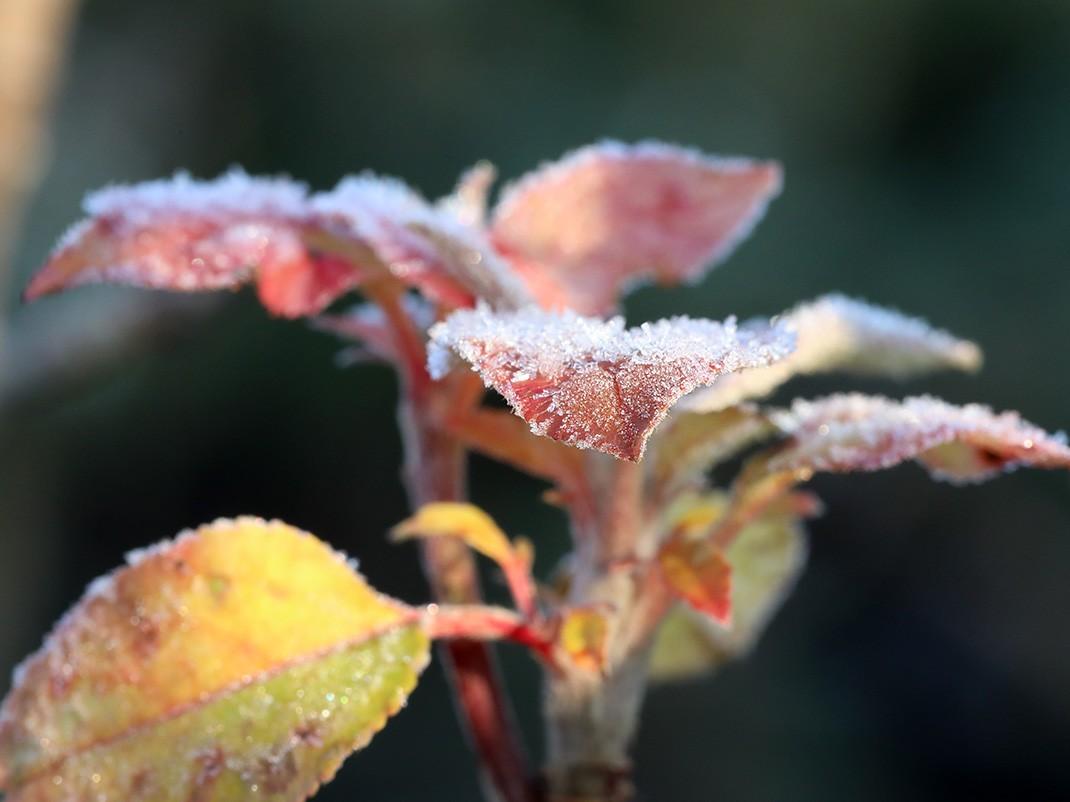 jabłoń ozdobna liście zimą