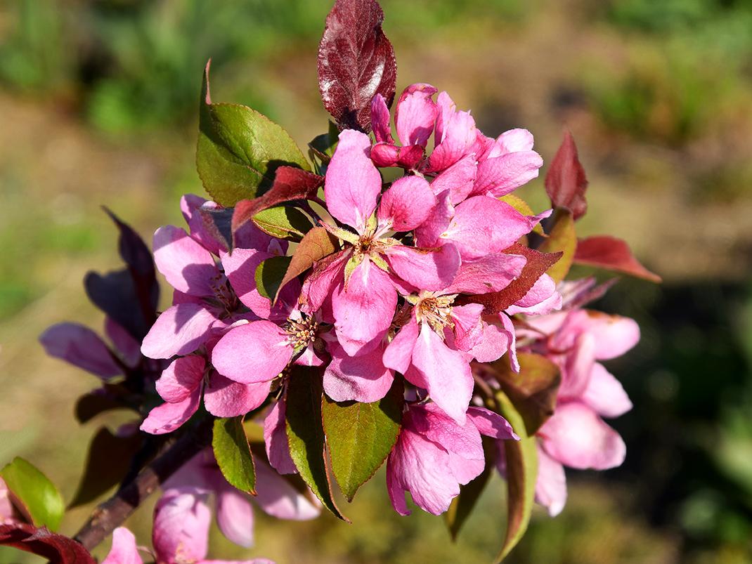 jabłoń żelazowa wola kwiaty