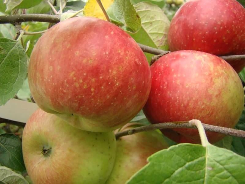 Jabłka odmiany 'Delikates'