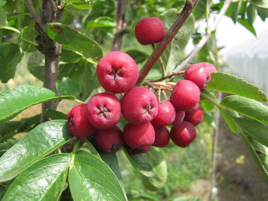 jarząb alaja krupnaja owoce