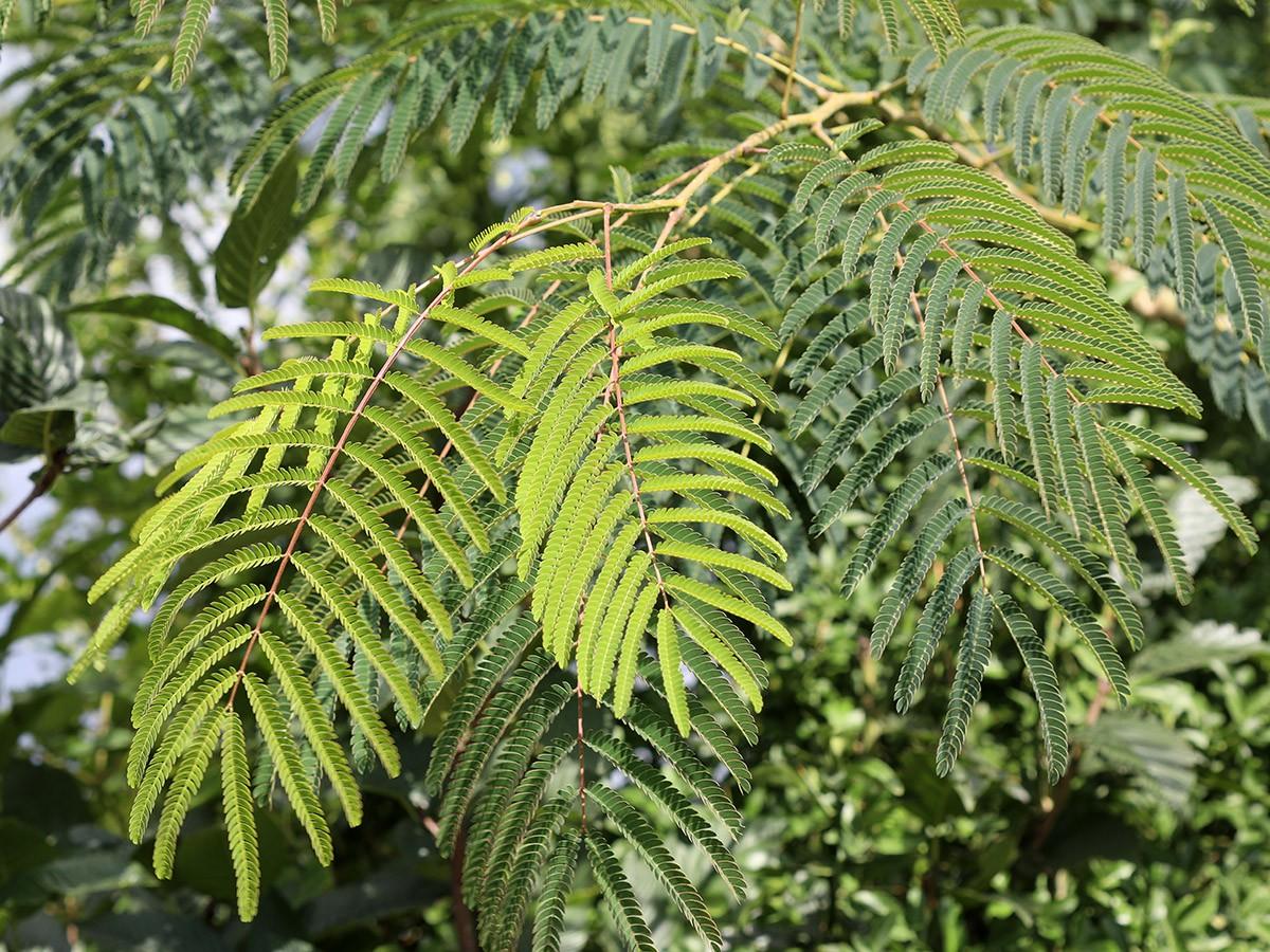 drzewo jedwabne albicja