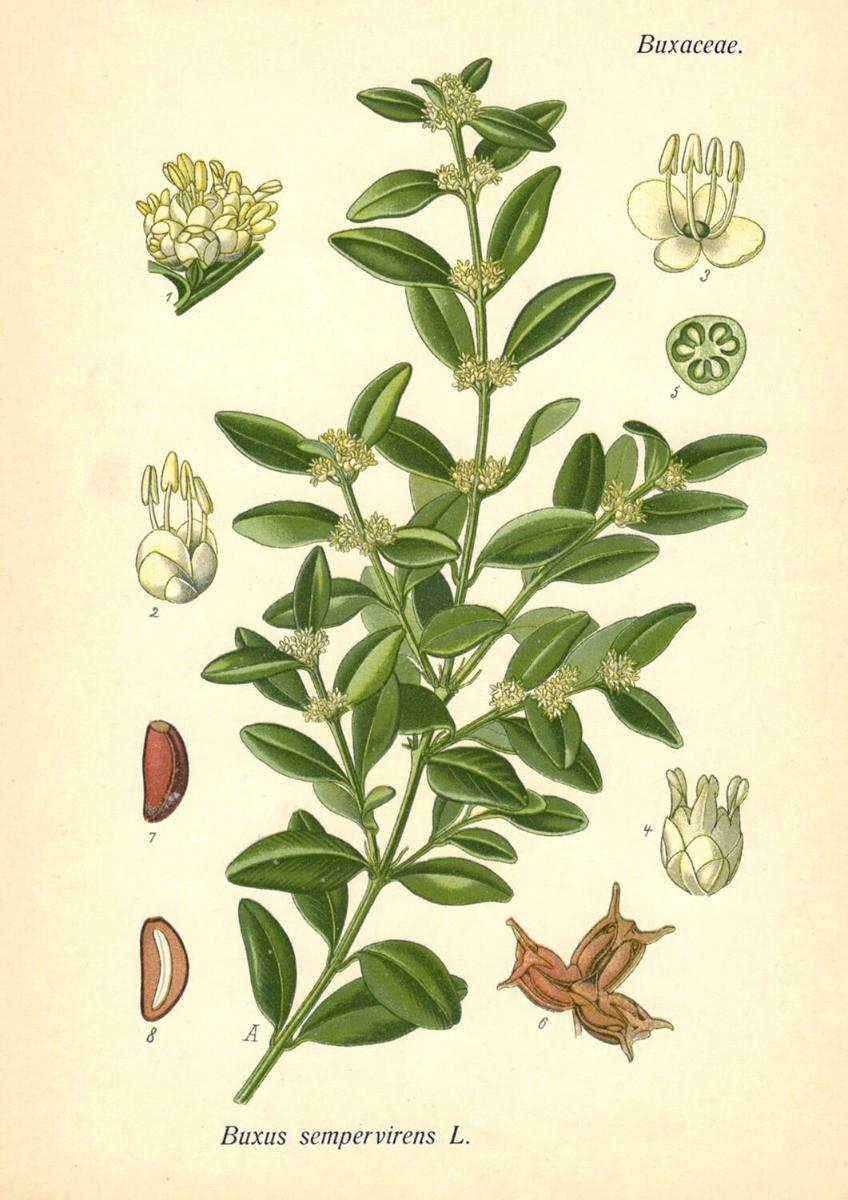 łacińskie nazwy roślin
