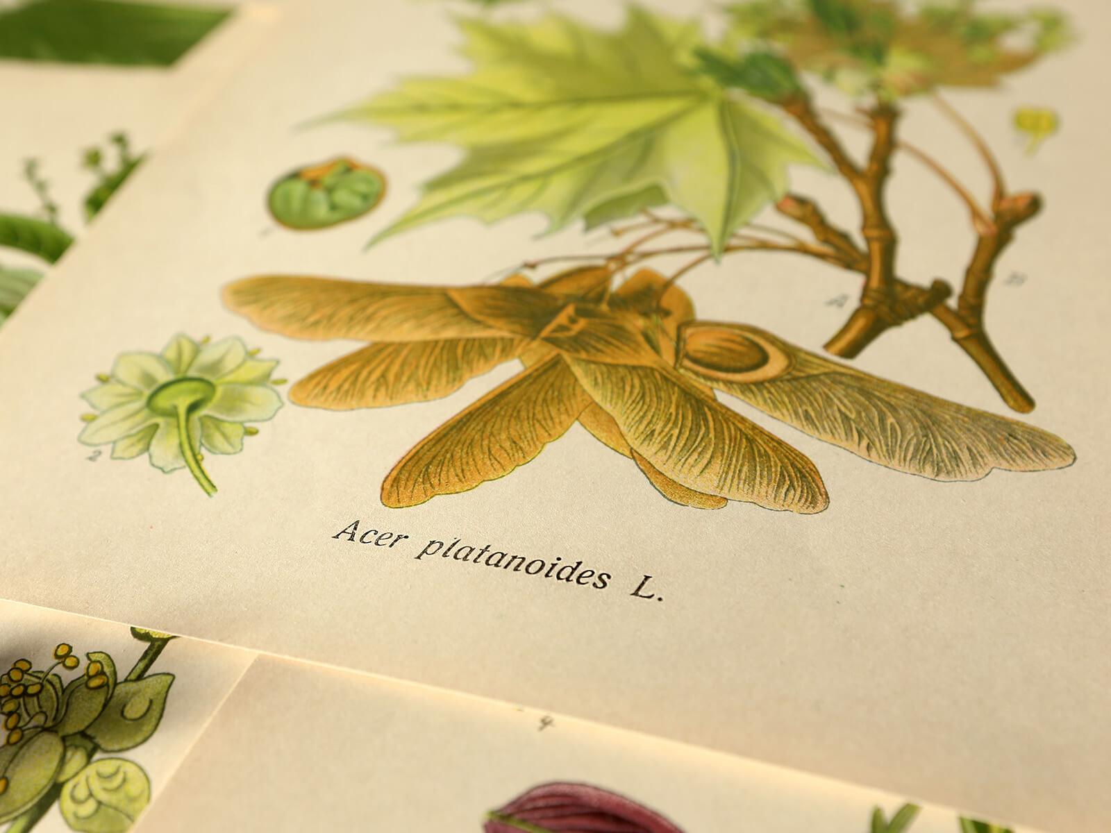 Łacińskie nazwy roślin – pomocny słownik