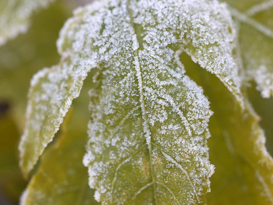 męczennica jadalna liście zimą