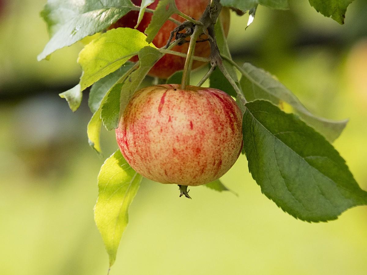 jabłko jesień
