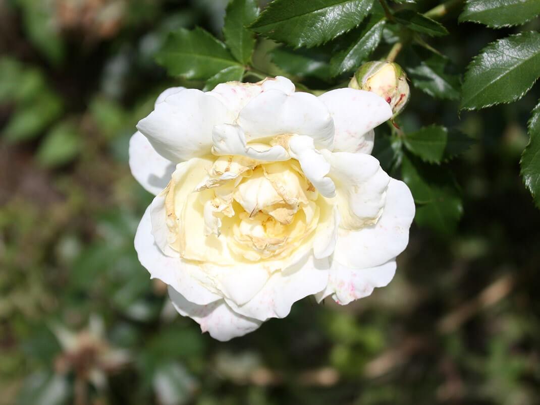 Róża pnąca Leverkusen