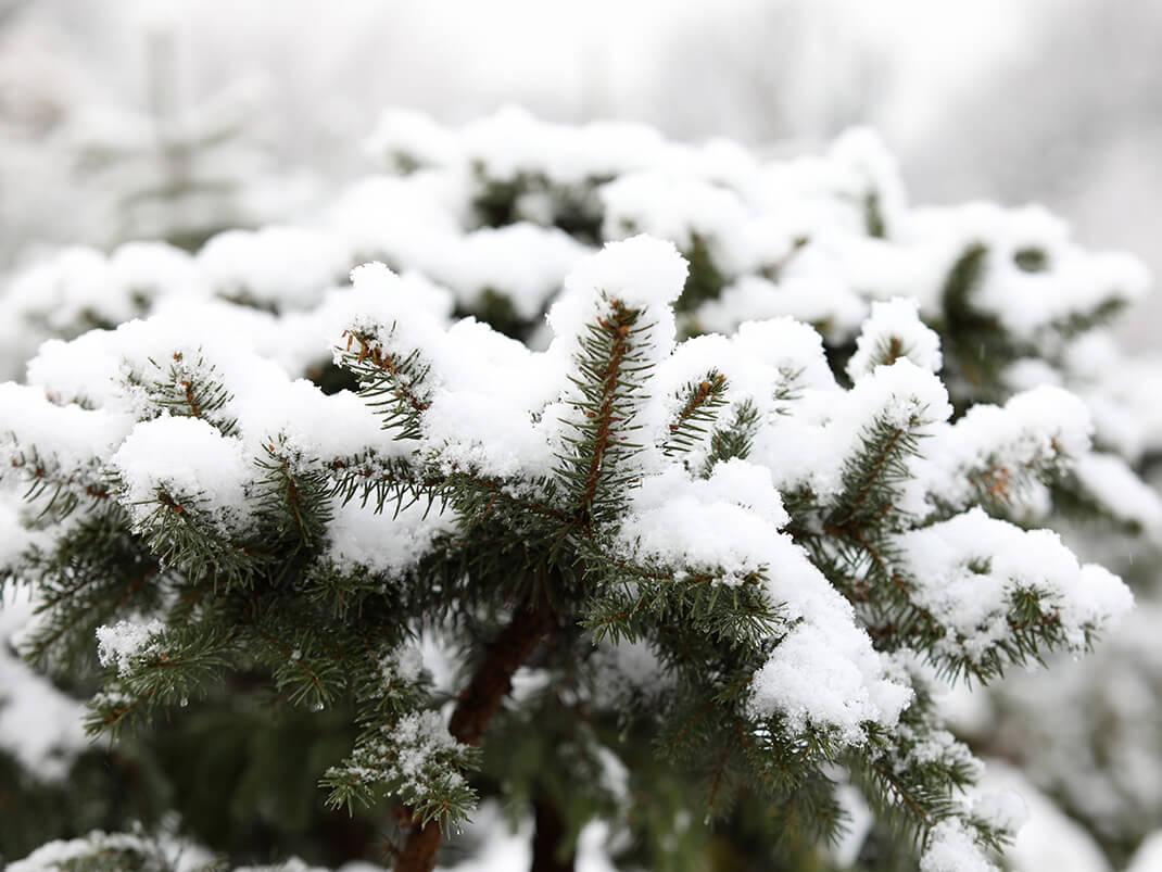 Śnieg na gałęziach - styczeń w ogrodzie