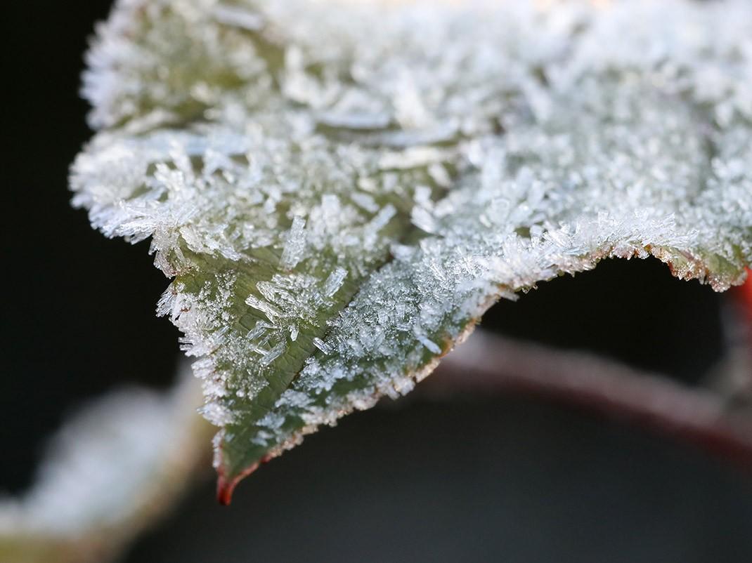 jabłoń ozdobna liść zimą