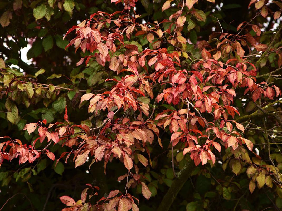 Śliwa wiśniowa - ałycza 'Atropurpurea'